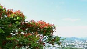 El árbol de llama o el árbol real del poinciana es de florecimiento y que agita con el viento almacen de metraje de vídeo