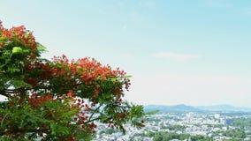 El árbol de llama o el árbol real del poinciana es de florecimiento y que agita con el viento almacen de video