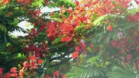 El árbol de llama o el árbol real del poinciana está floreciendo almacen de video