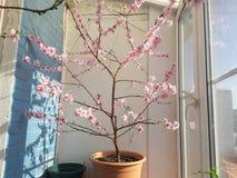 El árbol de melocotón en el balcón Fotografía de archivo libre de regalías