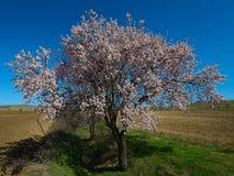 El árbol de melocotón floreciente en marzo Imágenes de archivo libres de regalías