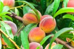 El árbol de melocotón maduro orgánico fresco con verde se va en rama Imagen de archivo libre de regalías