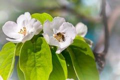 El árbol de membrillo en abeja de la floración recoge el néctar Imágenes de archivo libres de regalías