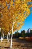 El árbol de oro sale de salida del sol Imágenes de archivo libres de regalías