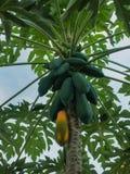 El árbol de papaya con sus frutas fotografía de archivo libre de regalías