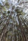 El árbol de pino 1 Imágenes de archivo libres de regalías