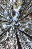 El árbol de pino 2 Imagenes de archivo