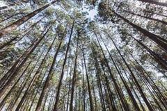 El árbol de pino 3 Fotografía de archivo libre de regalías