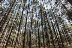 El árbol de pino 4 Fotografía de archivo libre de regalías