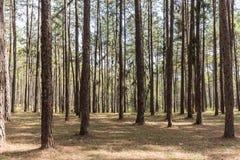 El árbol de pino 5 Foto de archivo libre de regalías