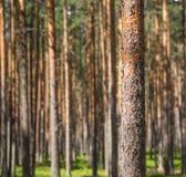 El árbol de pino Fotos de archivo