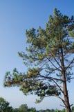 El árbol de pino Foto de archivo libre de regalías