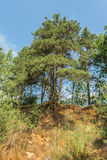 El árbol de pino con las raíces desnudas crece encima de una colina de la arena en el bosque Fotos de archivo