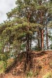 El árbol de pino con las raíces desnudas crece encima de una colina de la arena en el bosque Fotografía de archivo