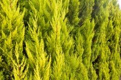 El árbol de pino se va cercano para arriba fotografía de archivo