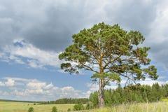 El árbol de pino solitario se opone solamente al cielo azul con el bosque Imagenes de archivo