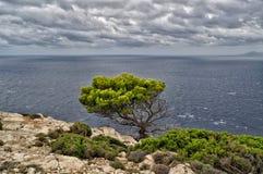 El árbol de pino solo en la roca en el mar Mediterráneo en Mallorca Balearic Island en España durante el clima tempestuoso Fotos de archivo libres de regalías