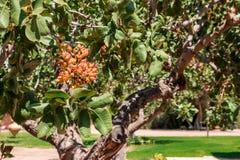 El árbol de pistacho Imágenes de archivo libres de regalías