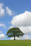 El árbol de roble en verano Fotos de archivo libres de regalías