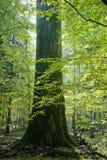 El árbol de roble gigante crece entre hornbeams jovenes Foto de archivo libre de regalías