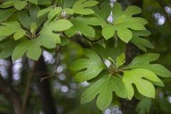 El árbol de sasafrás se va detalladamente con el bokeh imagen de archivo libre de regalías