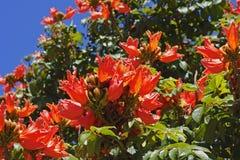 El árbol de tulipán africano con la naranja florece el primer Imagenes de archivo