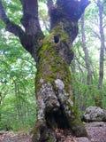 El árbol de viejo Adán solo fotografía de archivo
