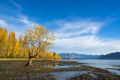 El árbol de Wanaka, amarillo se va con el cielo azul en otoño Fotos de archivo libres de regalías
