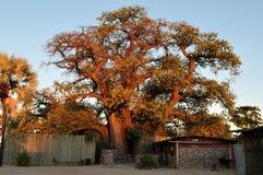 El árbol del baobab de Ombalantu en Namibia Fotos de archivo libres de regalías