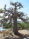 El árbol del baobab sagrado de Senegal Foto de archivo libre de regalías
