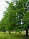 El árbol del biloba del Ginkgo, con las hojas verdes hermosas, está situado en la tierra herbosa cerca de la fuente de agua en el imágenes de archivo libres de regalías