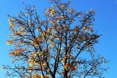 El árbol del otoño con el último se va en el cielo azul Imagenes de archivo
