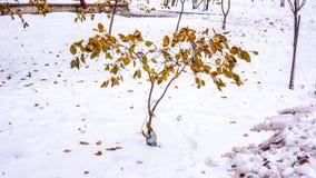 El árbol del otoño con muertos secos se va en las hojas itRed en la nieve Imagen de archivo