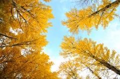 el árbol del otoño que mira para arriba Imagen de archivo
