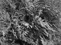 El árbol del thuja Fotografía de archivo