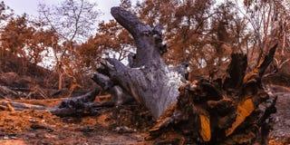 El árbol desarraigado quemó por el fuego de la lila en Fallbrook imagenes de archivo