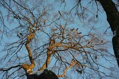 El árbol en el cual siente los cuervos fotos de archivo libres de regalías