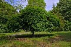El árbol en el parque en Burgas Bulgaria Fotos de archivo