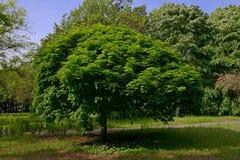 El árbol en el parque en Burgas Bulgaria Fotografía de archivo libre de regalías