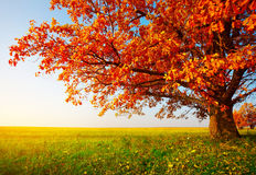 El árbol en otoño Imagen de archivo libre de regalías