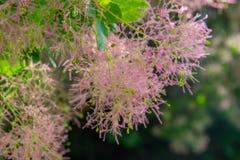 El árbol era hermoso con las ramas rosadas mullidas imagenes de archivo