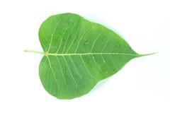 El árbol era sagrado en Hinduismo, jainismo, y budismo Fotos de archivo