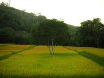 El árbol está en medio de campo del arroz Foto de archivo