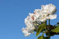 El árbol florece el cielo azul Fotos de archivo libres de regalías