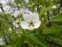 El árbol floreciente Fotos de archivo