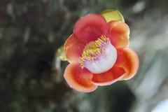 El árbol floreciente de la bola de cañón, este nombre científico del ` s de la flor es guianensis del couroupita Fotos de archivo