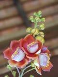 El árbol floreciente de la bola de cañón, este nombre científico del ` s de la flor es guianensis del couroupita Imagen de archivo libre de regalías