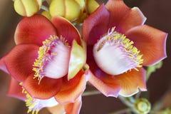 El árbol floreciente de la bola de cañón, este nombre científico del ` s de la flor es guianensis del couroupita Fotografía de archivo