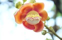 El árbol floreciente de la bola de cañón, este nombre científico del ` s de la flor es guianensis del couroupita Foto de archivo libre de regalías