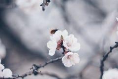 El árbol floreciente en cierre de la primavera encima de las flores blancas florece el renacimiento cada vez mayor de las ramitas imagenes de archivo